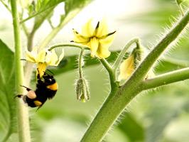 Polinización por abejorros